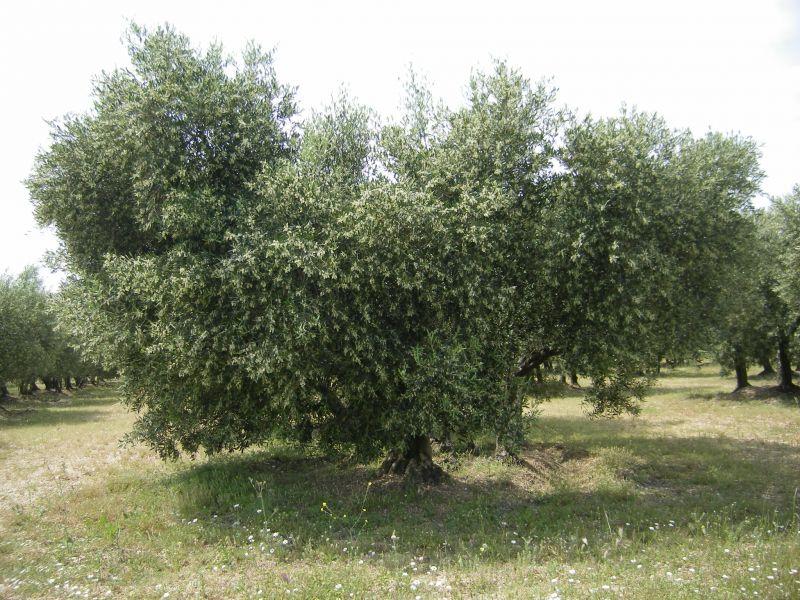 oliviersenfleurs23mai2008001.jpg
